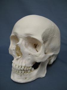 Caucasian_Human_Skull