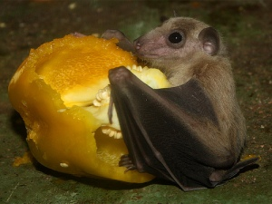 Egyptian fruit bat5