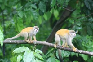 squirrel-monkeys-coming-in-from-trees-manuel-antonio-national-park-costa-rica+1152_12753330877-tpfil02aw-22920