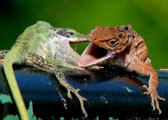 Green anole vs brown anole - photo#4