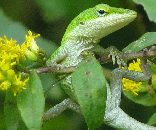 Florida Lizards Show That Evolutionary Change Can Be Rapid
