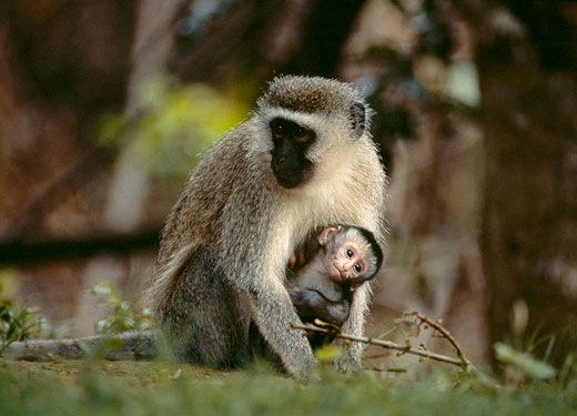 Other Primates Use Speech and Vocabulary – The Human