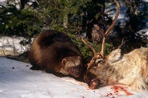 Wolverine (Gulo gulo) scavenging caribou carcass, USA, captive