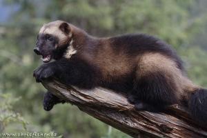 Wolverine Krochel