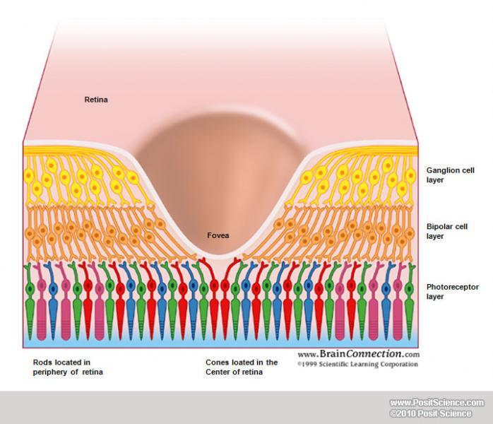 The Poor Design Of The Human Eye  U2013 The Human Evolution Blog