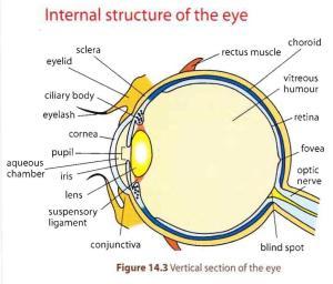 Human-Eye-Anatomy