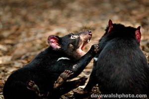 Tasmanian Devils play fighting