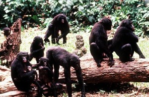 wild-bonobos