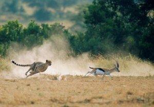 cheetah-gazelle1