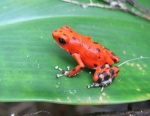 Dendrobates pumilio Strawberry poison dart frog