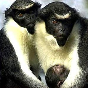 diana-monkey-family