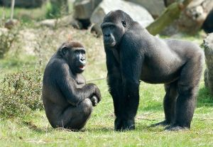 Male_And_Female_Gorillas_600