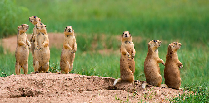 A Career Studying The Sophisticated Vocabulary Of Prairie Dogs The