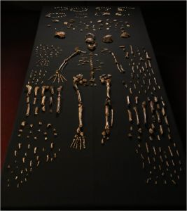 H. naledi fossils, picture from Berger, et al.