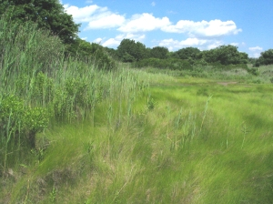 Saltmarsh-Grass