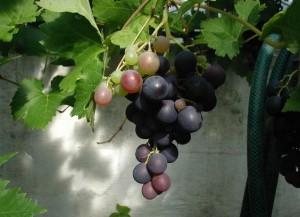 Vitis-vinifera-2