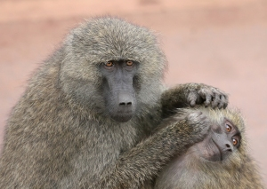 Grooming_monkeys_PLW_edit