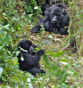 Susa_group,_mountain_gorillas_-_Flickr_-_Dave_Proffer_(3)