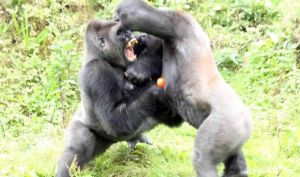 Gorilla-fighting-over-tomato-in-zoe-518489