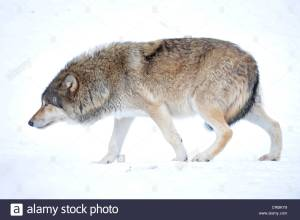 mackenzie-wolf-canadian-wolf-canis-lupus-occidentalis-in-the-snow-crbky9