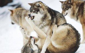 wolf-playing_145533-1280x800