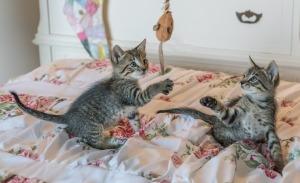 kittens-1534083_960_720