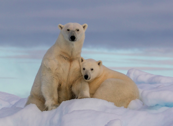 Darwin Devolves: Behe Gets Polar Bear Evolution Very Wrong